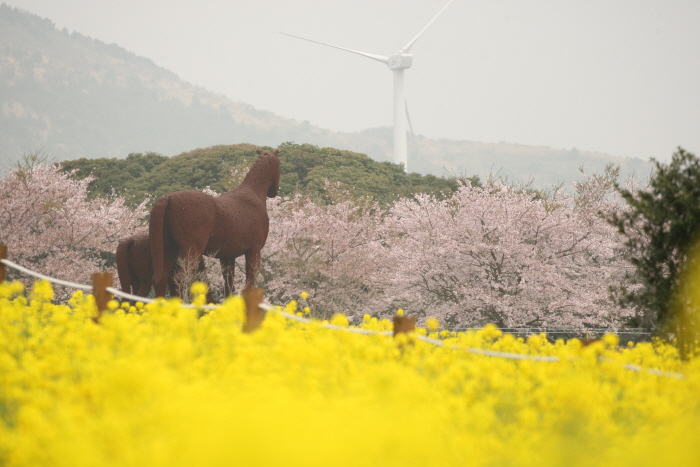 濟州油菜花節(제주 유채꽃축제)