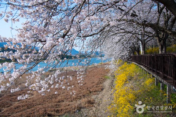 구례 섬진강 벚꽃길