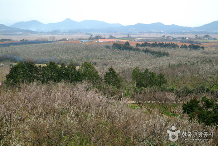 BoHae梅子农园보해매실농원
