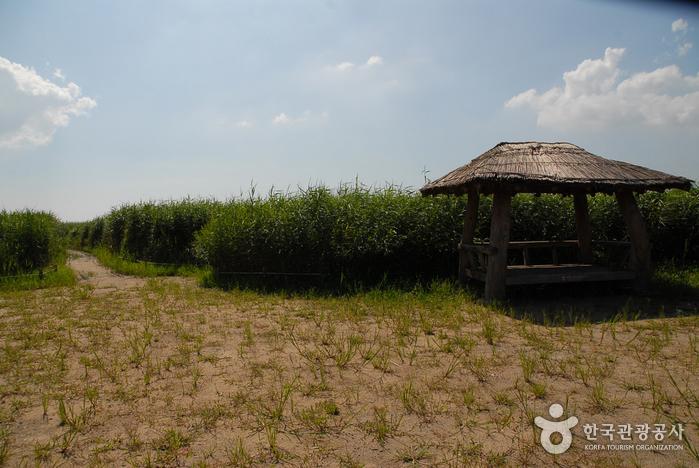 Sinseong-ri Reed Field (신성리 갈대밭)