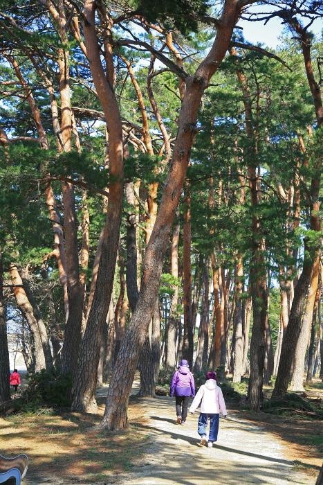 허균 허난설헌 기념공원의 산책하기 좋은 소나무 숲