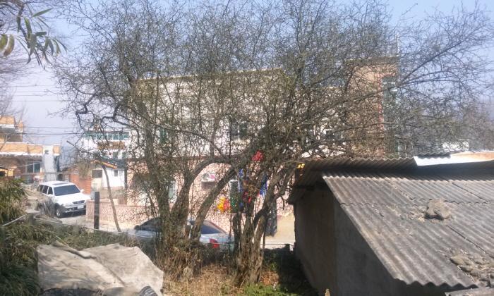 국우동 탱자나무