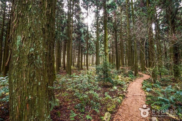 Лесная дорожка Сарёни (사려니숲길)5
