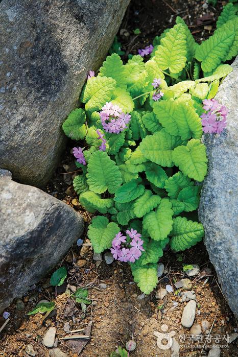 돌틈사이로 피어난 연보라색 꽃