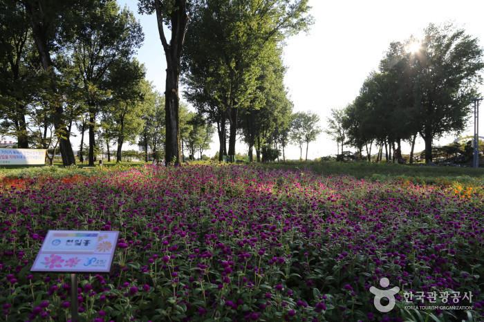 천일홍 꽃밭