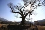 함안 영동리 회화나무