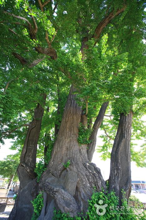 영월 하송리 은행나무