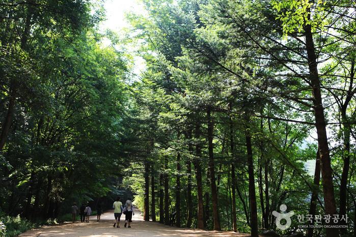 月精寺モミの森(월정사 전나무숲)