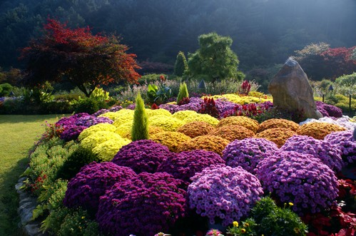 Chrysanthemum Festival of The Garden of Morning Calm (아침고요수목원 국화축제)