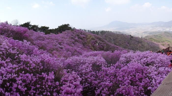황홀한 진분홍빛 꽃길을 걷다, 강화 고려산 진달래 군락지