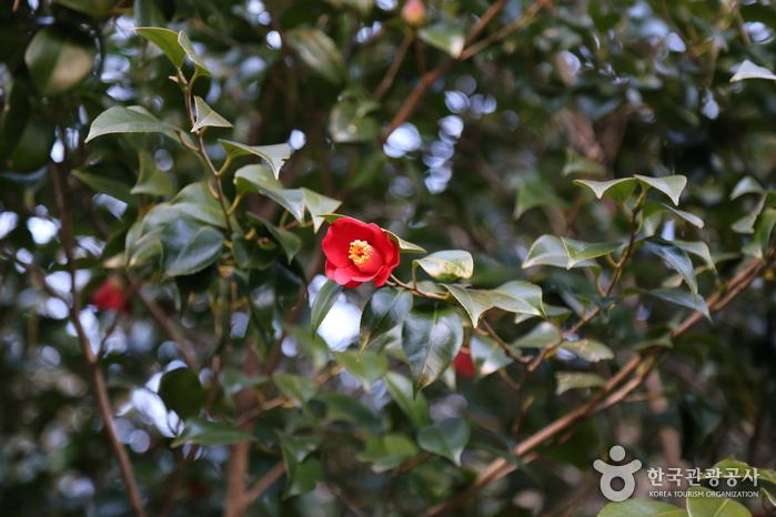 다소곳이 꽃잎을 피운 동백꽃