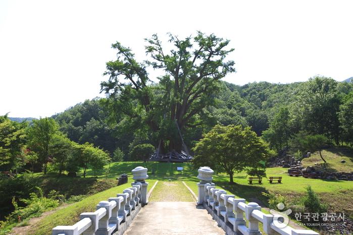 안동 용계리 은행나무