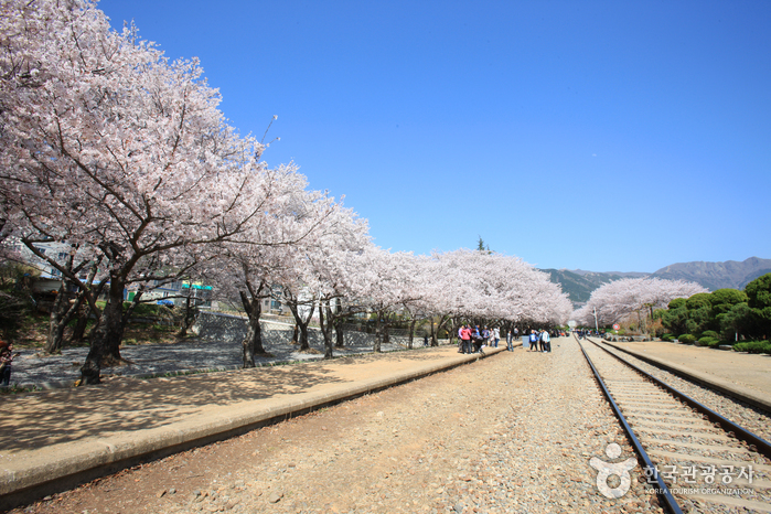 Gyeonghwa Station Cherry Blossom Road (경화역 벚꽃길)