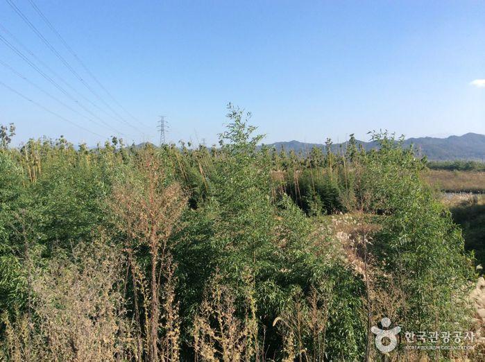 潭陽竹林(潭陽湿地)(담양대나무숲(담양습지))