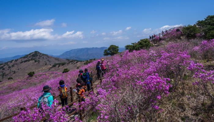 비슬산 참꽃문화제 2019