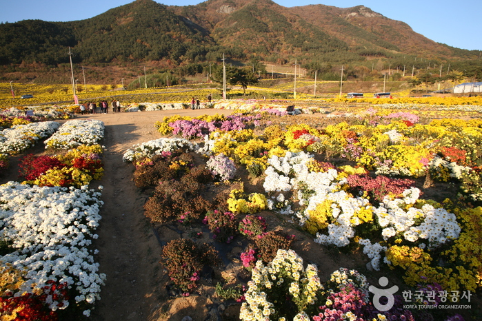 Seosan Chrysanthemum Festival (서산국화축제)