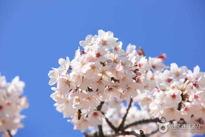 Königskirschblütenfestival Jeju (제주왕벚꽃축제)