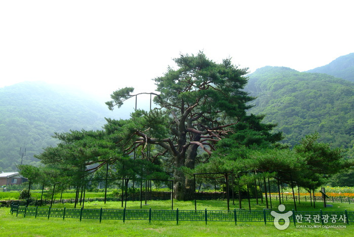 보은 서원리 소나무