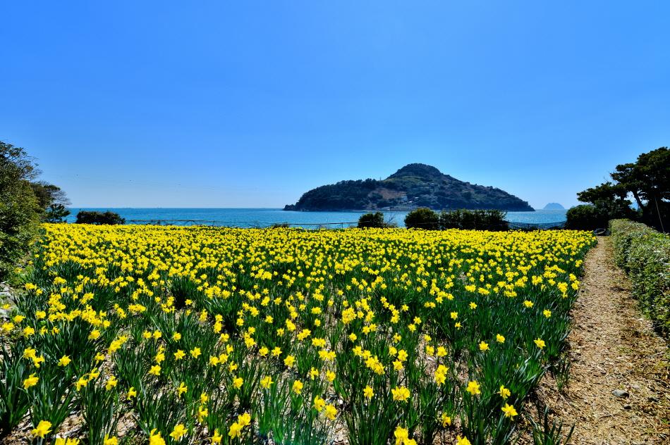 노란 수선화가 만발한 공곶이의 봄