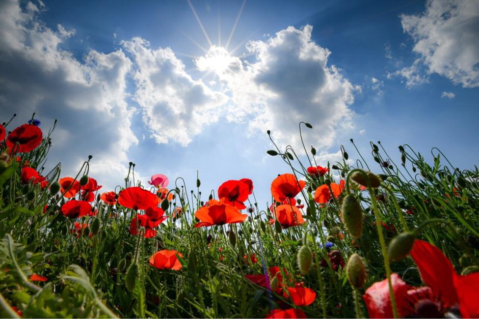 원주 용수골꽃양귀비축제