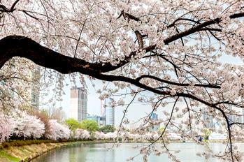 松坡ナル公園(石村湖)の桜