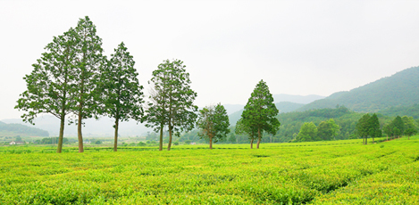 韓国の茶文化旅行<br />~慶尚南道河東&全羅南道宝城~