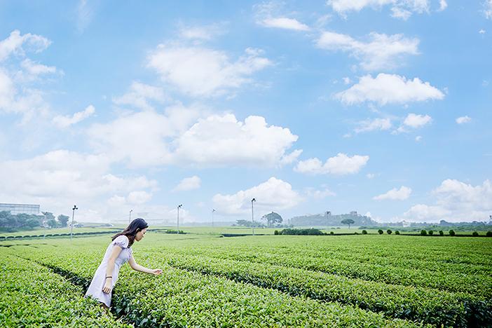 Teefeld Seogwang im Osulloc Tea Museum