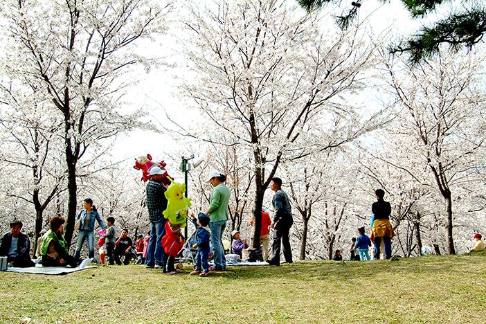 济州大樱花节 (提供:济州旅游发展局)