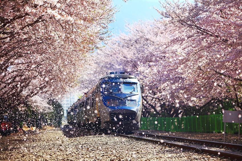 Дорога вишнёвых деревьев на станции Кёнхва