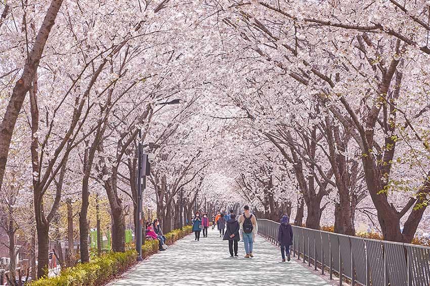Chemin des cerisiers Jangan, rivière Jungnangcheon