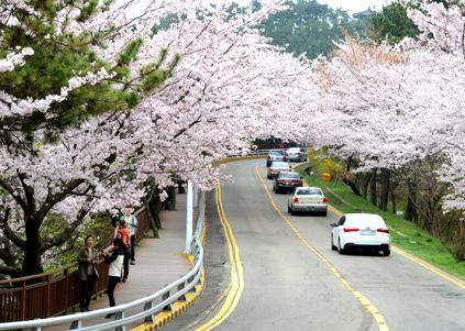 櫻花盛開的迎月路散步步道