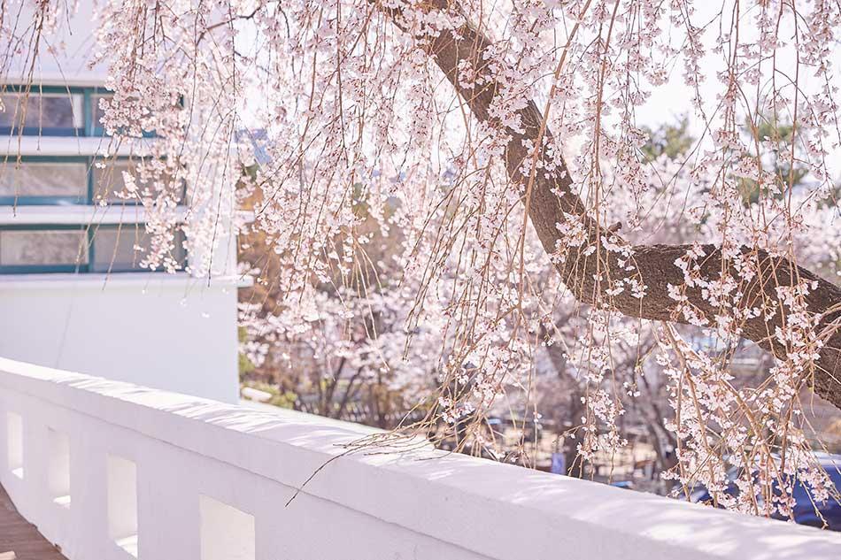 ソウル・鐘路区花洞にある正読図書館のしだれ桜
