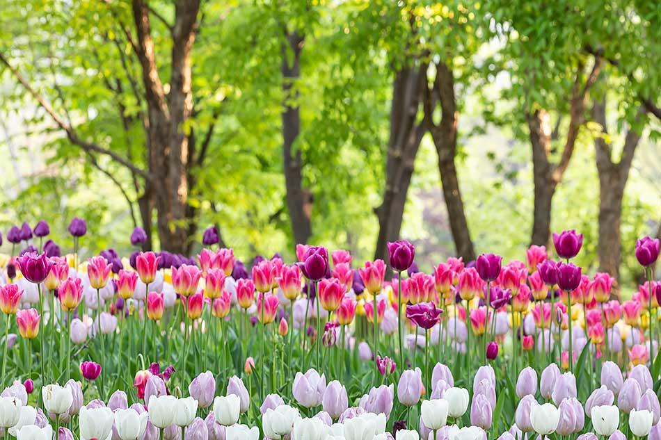 ソウルの森に咲くチューリップの花