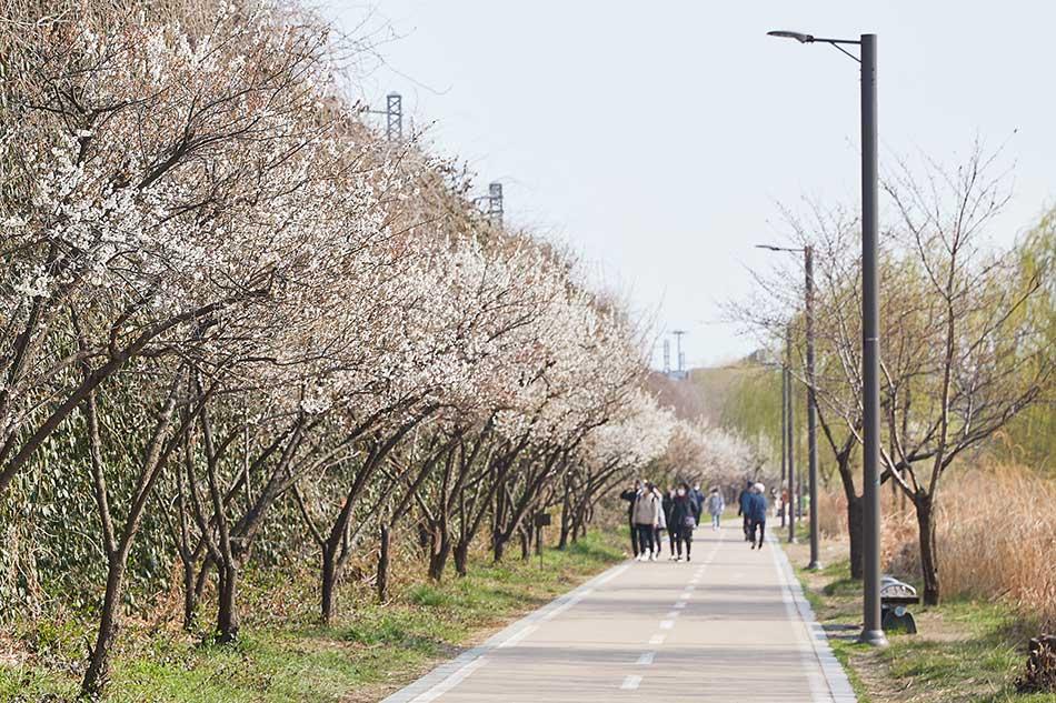 清渓川・河東梅の道