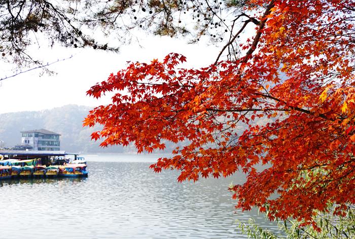 山井湖散步路上火紅的楓葉