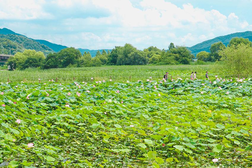 Lotus dans le parc Semiwon