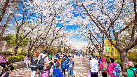 都心で楽しむ春の散歩 ソウルの春の花が楽しめるスポット8選