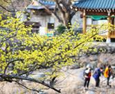 Das Kornelkirschblüten-Festival Gurye