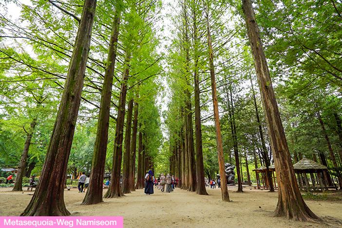 Metasequoia-Weg Namiseom (oben), Metasequoia-Weg in Damyang (unten)