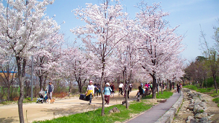 Image result for Seoul forest cherry blossoms