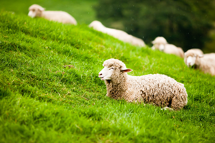 Photo: Sheep feeding on a field of grass