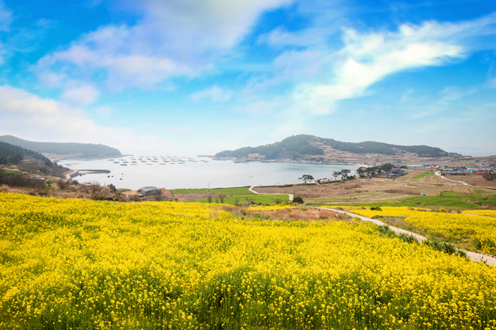 Canola blossoms on Cheongsando Island