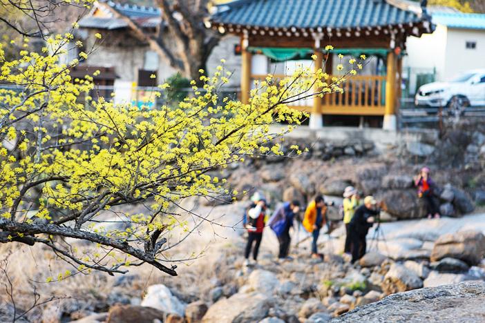 Gurye sansuyu blossoms