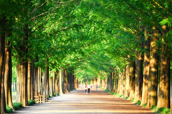 Damyang's Metasequoia-lined Road
