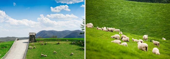 大關嶺群羊牧場的動人風景