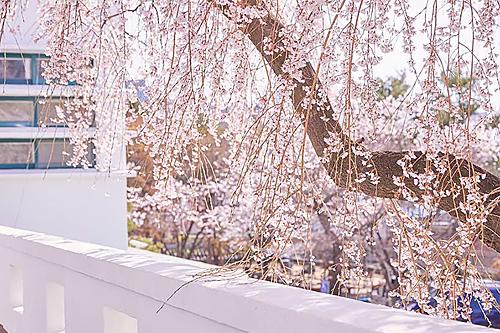 在市中心就能賞花,首爾春花道路集錦