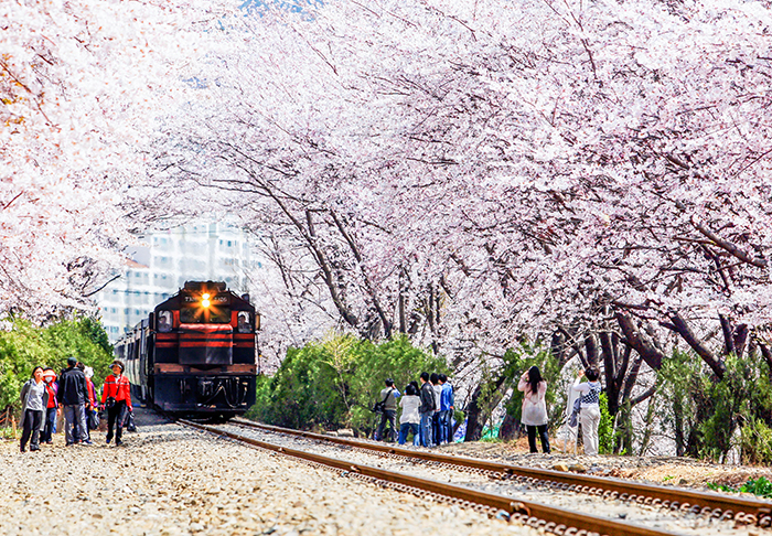 Photo:</strong /> Cherry blossom road at Gyeonghwa Station (Photo courtesy of Changwon Office)