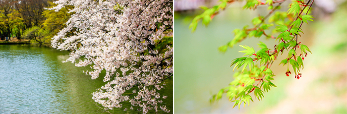 left)Full-blown cherry blossoms on the lake, right)Pink blossoms have yet to burst into a tree branch