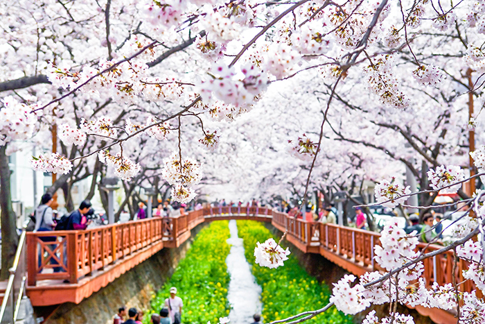 Yeojwacheon full of cherry blossoms Avenue many people to watch.