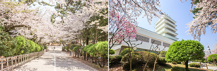 left)Full-blown cherry blossom Gongwonsanchaek-gil, right)Exterior view jinhaetap